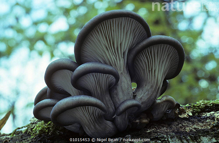 Oyster mushroom (Pleurotus ostreatus)  ,  AUTUMN, BRACKET-FUNGI, CLOSE-UPS, EDIBLE, EUROPE, FUNGI, PLANTS, PLEUROTACEAE, PORTRAITS  ,  Nigel Bean