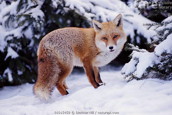 Red fox in snow, Germany  ,  GERMANY,MAMMALS,SNOW,WINTER,DN,EUROPE,PORTRAITS,HORIZONTAL,CARNIVORES,DOGS,CANIDS  ,  Dietmar Nill
