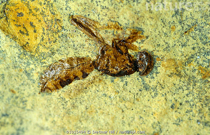 Fossil wasp. China  ,  CHINA,FOSSILS,INSECTS,Asia,Invertebrates  ,  Dietmar Nill