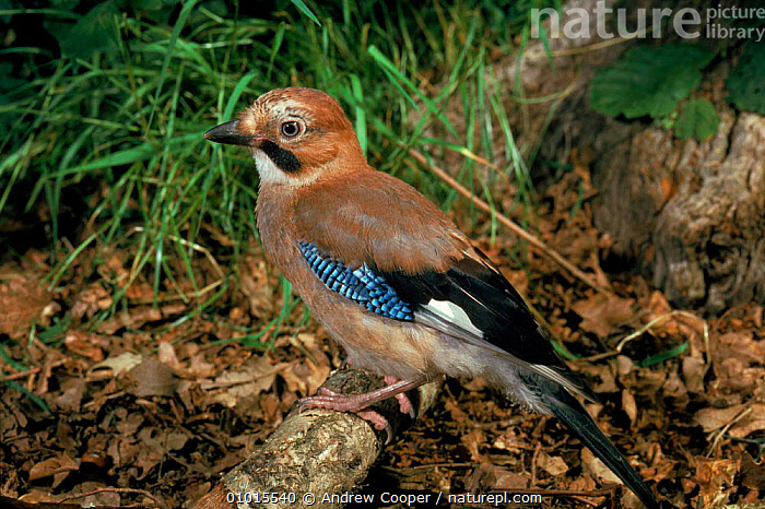 Jay on woodland floor, Devon, England  ,  ACO,BIRDS,BRITISH,CORVIDS,DEVON,ENGLAND,EUROPE,HORIZONTAL,PORTRAITS,UK,UNITED KINGDOM,WOODLANDS  ,  Andrew Cooper