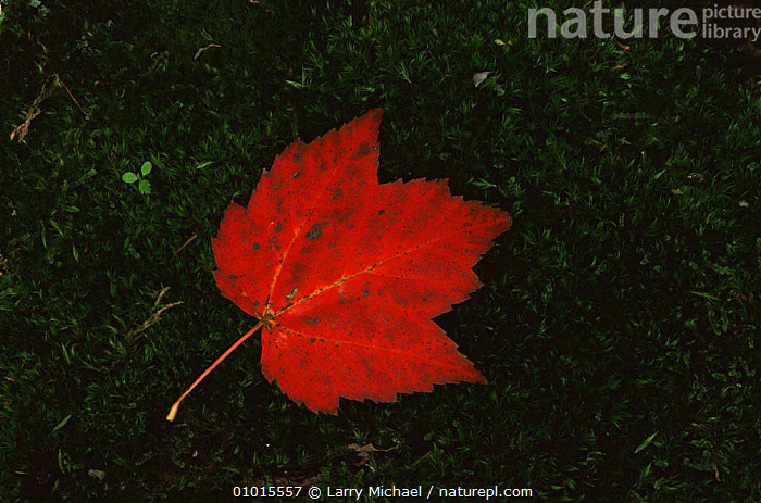 Fallen Maple leaf on moss, USA.  ,  ARTY SHOTS,AUTUMN,CLOSE UPS,LEAVES,PATTERNS,RED,USA,North America  ,  Larry Michael