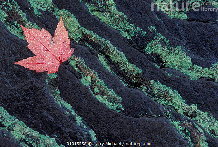 Maple leaf on rock. USA.  ,  USA,RED,LEAVES,ROCK,AUTUMN,CLOSE UPS,North America  ,  Larry Michael