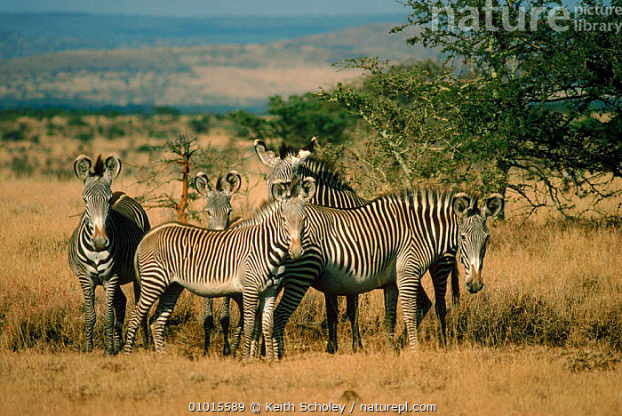 Grevy's zebra group. Lewa Downs, Kenya, East Africa  ,  GROUPS,LEWA,KENYA,MAMMALS,LANDSCAPES,SAVANNA,DOWNS,EAST AFRICA,PERISSODACTYLA,HORIZONTAL,AFRICA,GRASSLAND,EQUINES  ,  Keith Scholey