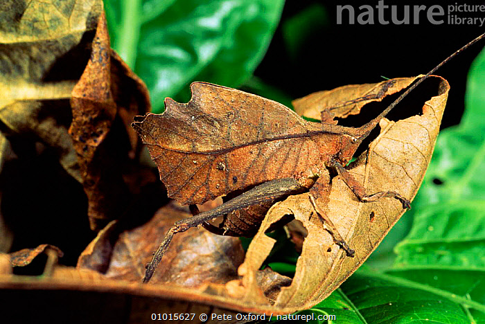Tropical Katydid in the Amazon. (Tettigonoidae) Ecuador, South America  ,  CRICKETS,INTERESTING,CRYPTIC,CAMOUFLAGE,ARTHROPODS,LEAVES,INSECTS,WINGS,OUTSTANDING,AMAZON,TROPICAL RAINFOREST,PORTRAITS,Invertebrates,Orthoptera  ,  Pete Oxford