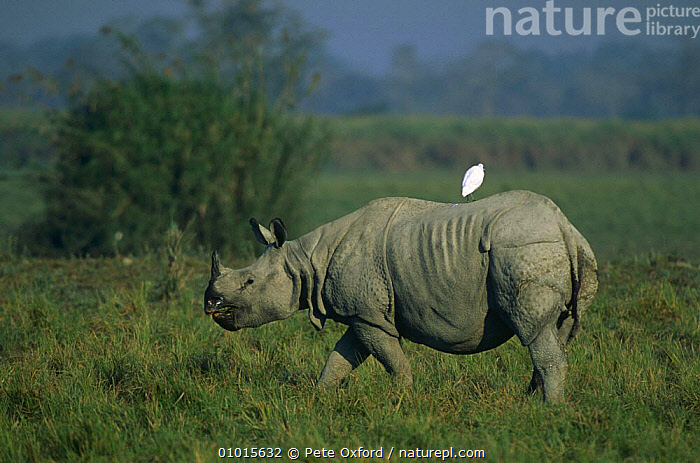 Indian rhinoceros {Rhinoceros unicornis} with egret resting on back, Kaziranga NP, Assam, North East India  ,  BIRDS,EGRETS,ENDANGERED,FEEDING,GRASSLAND,INDIA,INDIAN SUBCONTINENT,MAMMALS,MIXED SPECIES,NP,ONE HORNED,PERISSODACTYLA,PORTRAITS,PROFILE,RESERVE,RHINOCEROSES,SYMBIOSIS,VERTEBRATES,Asia,Concepts,Partnership,National Park  ,  Pete Oxford