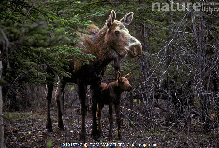 Moose cow with calf. USA. (Alces alces)  ,  BABIES,FAMILIES,MAMMALS,NORTH AMERICA,USA,ARTIODACTYLA,CALF,DEER,STANDING  ,  TOM MANGELSEN