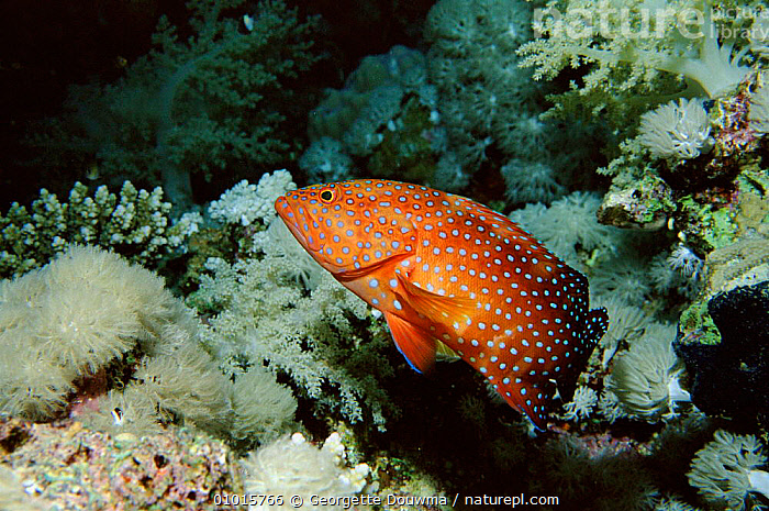 Coral Hind (Grouper) on coral reef, Red Sea  ,  COLOURFUL,CORAL REEFS,FISH,GD,HORIZONTAL,MARINE,RED,SEA,TROUT  ,  Georgette Douwma