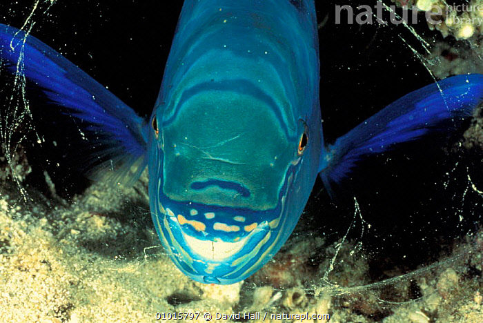 Parrotfish sleeping in mucous bubble at night (Scarus festivus) Indonesia. The bubble prevents predators from smelling the fish while it sleeps.  ,  BEHAVIOUR,INDO PACIFIC,MARINE,TROPICAL,CORAL REEFS,FESTIVUS,FISH,INTERESTING,UNDERWATER,DEFENSIVE,SCARUS  ,  David Hall