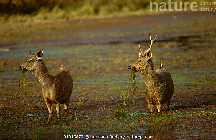 Indian Sambar deer {Cervus unicolor} male and female pair feeding on water plants, India  ,  ARTIODACTYLA,ASIA,BEHAVIOUR,CERVIDS,INDIA,MALE FEMALE PAIR,MAMMALS,VERTEBRATES,WADING,WETLANDS  ,  Hermann Brehm