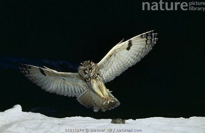 Long-eared owl (Asio otus) catching mouse in snow, Germany  ,  ACTION,BEHAVIOUR,BIRDS,BIRDS OF PREY,EUROPE,FLYING,GERMANY,NIGHT,OWLS,PREDATION,SNOW,VERTEBRATES  ,  Dietmar Nill