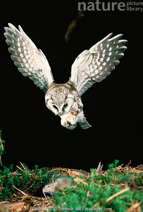 Tengmalm's owl catching a mouse. (Aegolius funereus)  ,  BIRDS,BIRDS OF PREY,EUROPE,FLYING,NIGHT,OWLS,PORTRAITS,PREDATION,VERTEBRATES,VERTICAL,Behaviour,Raptor  ,  Dietmar Nill