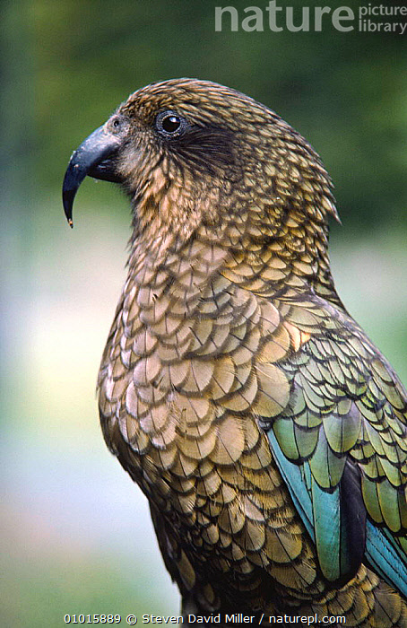 Kea parrot (Nestor notabilis) New Zealand  ,  BEAKS,BIRDS,NEW ZEALAND,PARROTS,PORTRAITS,PROFILE,VERTEBRATES,VERTICAL  ,  Steven David Miller