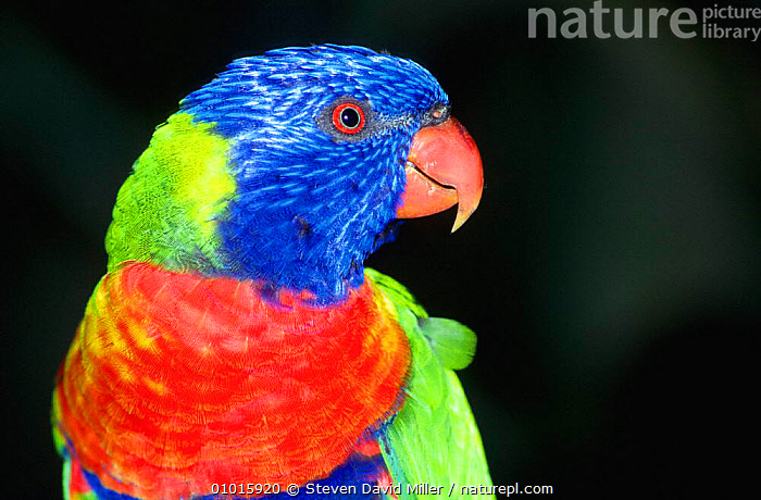 Rainbow lorikeet {Trichoglossus haematodus) Port Douglas, Queensland, captive  ,  AUSTRALIA,BIRDS,COLOURFUL,FEATHERS,HEADS,LORIKEETS,PARAKEETS,PARROTS,PORTRAITS,PROFILE,TROPICAL,VERTEBRATES  ,  Steven David Miller