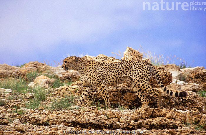 Adult male cheetah camouflaged. (Acinonyx jubatus) South Africa. Kalahari NP.  ,  ADULT,AFRICA,CAMOUFLAGE,CARNIVORE,CATS,KALAHARI,MALE,MAMMALS,NP,RO,SOUTHERN AFRICA,SPOTS,NATIONAL PARK  ,  Ron O'Connor