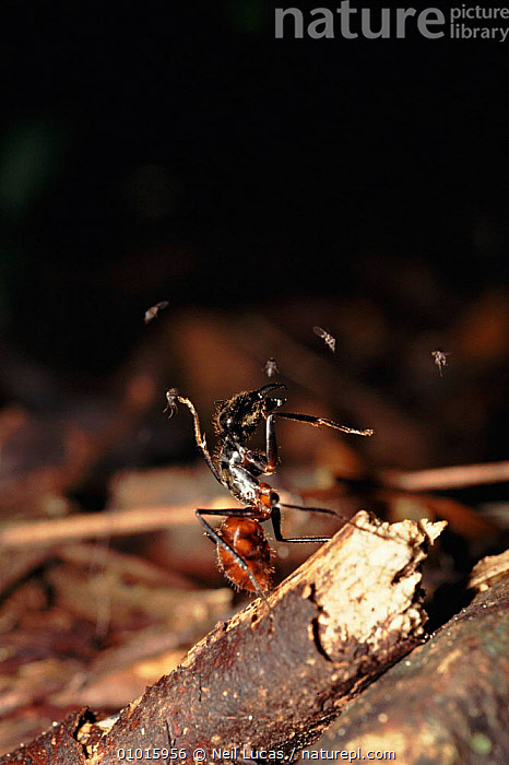 Giant wood ant being attacked by small flies, Borneo.  ,  SOUTH EAST ASIA,WOOD,VERTICAL,DEFENSIVE,TROPICAL RAINFOREST,BORNEO,GIANT,INSECTS,CLOSE UPS,MIXED SPECIES,AGGRESSION,FLIES,NL,ASIA,CONCEPTS,BEHAVIOUR,INVERTEBRATES,HYMENOPTERA  ,  Neil Lucas