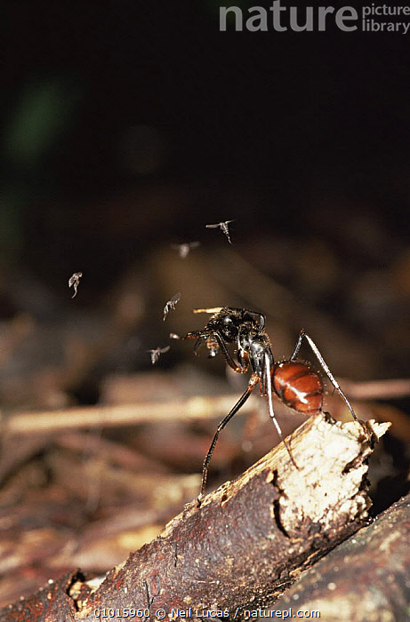 Giant wood ant being attacked by small flies. (Formica sp) Borneo  ,  AGGRESSION,ANTS,ARTHROPODS,BEHAVIOUR,DEFENSIVE,FLIES,FLYING,HYMENOPTERA,INSECTS,INVERTEBRATES,MIXED SPECIES,SOUTH EAST ASIA,TROPICAL RAINFOREST,VERTICAL,Asia,Concepts  ,  Neil Lucas