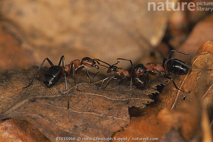 Three ants (Formica polyctena) amongst leaf litter, Germany  ,  , ANTS, ARTHROPODS, EUROPE, GERMANY, GROUPS, HYMENOPTERA, INSECTS, INVERTEBRATES, THREE  ,  Hans Christoph Kappel