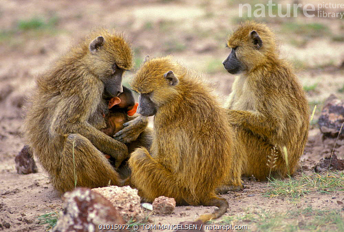 Savanna baboon with young. (Papio cynocephalus) Amboseli NP Kenya  ,  YOUNG,PRIMATES,PARENTAL,MAMMALS,FAMILIES,GROUPS,CUTE,EAST AFRICA,BABOONS,BABIES,AFFECTIONATE,AFRICA,CONCEPTS,MONKEYS  ,  TOM MANGELSEN