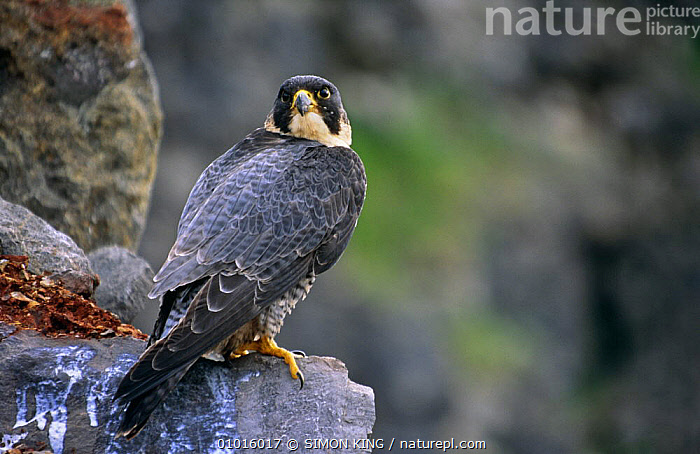 Female Peregine falcon {falco peregrinus} portrait on a rock in quarry, captive, UK  ,  BIRDS,BIRDS OF PREY,ENGLAND,EUROPE,FALCONS,FEMALES,PORTRAITS,UK,VERTEBRATES,United Kingdom,British  ,  SIMON KING