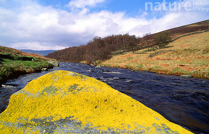 Lichens covering a rock, West Water, Edrell, Scotland  ,  AUTUMN, CLADONIACEAE, EUROPE, FUNGI, HIGHLANDS, LANDSCAPES, LICHENS, PLANTS, RIVERS, SCOTLAND, UK, WATER, YELLOW,United Kingdom  ,  Niall Benvie