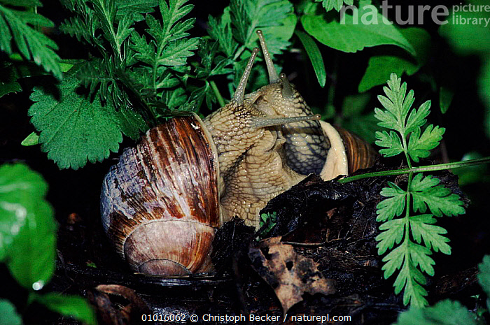 Two Common snails mating, Germany.  ,  GERMANY,MATING BEHAVIOUR,CBE,GARDENS,MOLLUSCS,EUROPE,REPRODUCTION,INVERTEBRATES  ,  Christoph Becker