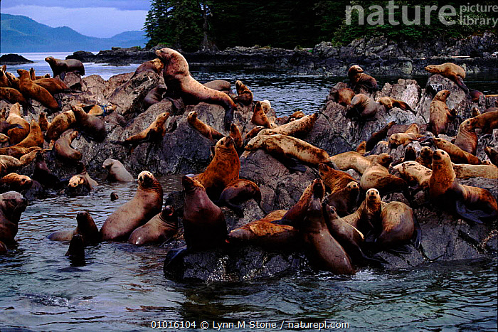 Steller / Northern sealions (Eumetopias jubata) on rock. Alaska  ,  MAMMALS,SEALIONS,COASTAL WATERS,GROUPS,PINNIPEDS,ALASKA,MARINE,NORTH AMERICA ,PACIFIC OCEAN, CARNIVORES  ,  Lynn M Stone