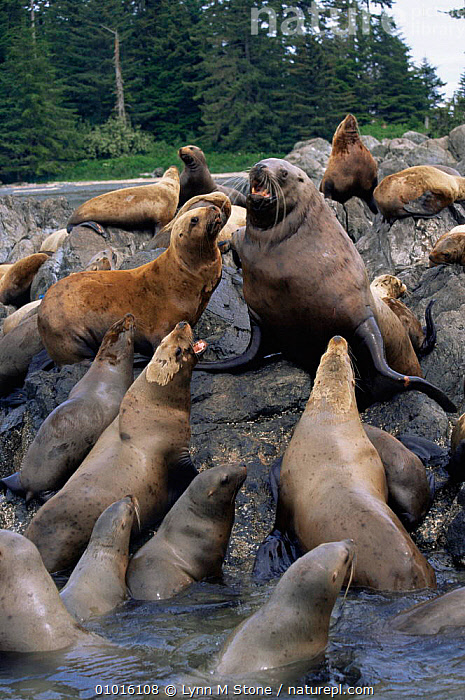 Steller (Northern) sealions on rocks.(Eumetopias jubata) Alaska  ,  CARNIVORES,COASTAL WATERS,ENDANGERED,GROUPS,MAMMALS,MARINE,PACIFIC OCEAN,PINNIPEDS,ROCKS,SEALIONS,USA,North America, CARNIVORES  ,  Lynn M Stone