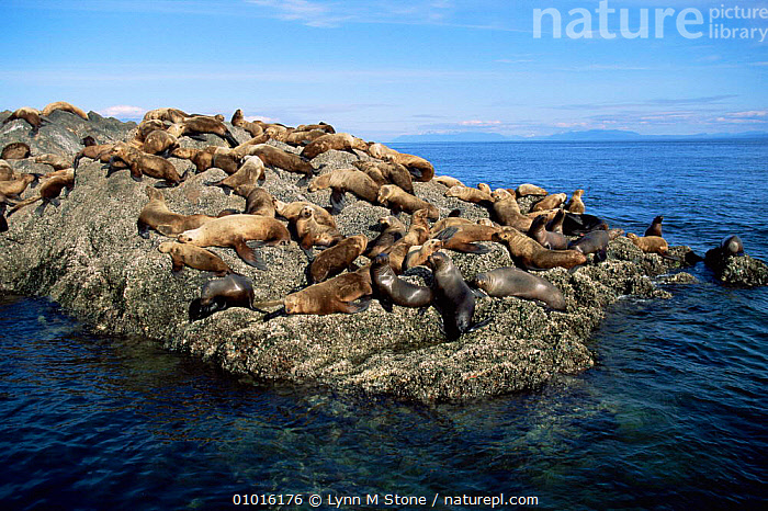 Steller sealions on rocks. (Eumetopias jubata) Alaska Northern sealion  ,  CARNIVORES,COASTAL WATERS,ENDANGERED,GROUPS,MAMMALS,MARINE,PACIFIC OCEAN,PINNIPEDS,ROCKS,SEALIONS,USA,North America, CARNIVORES  ,  Lynn M Stone