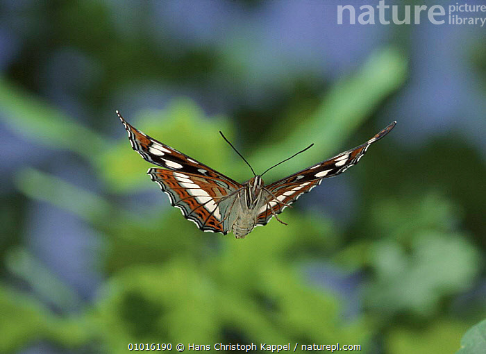 Poplar Admiral butterfly in flight, Germany  ,  HK,CAPTIVE,FLYING,FEMALES,WINGS,EUROPE,INSECTS,GERMANY,HORIZONTAL,INVERTEBRATES  ,  Hans Christoph Kappel