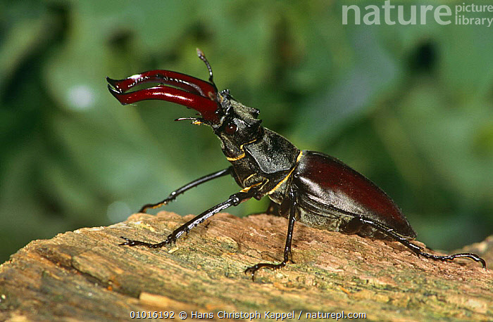 Stag beetle male (Lucanus cervus) Germany, captive  ,  BEETLES,COLEOPTERA,EUROPE,GERMANY,INSECTS,INVERTEBRATES,MALES,PORTRAITS,PROFILE,STAG BEETLES  ,  Hans Christoph Kappel