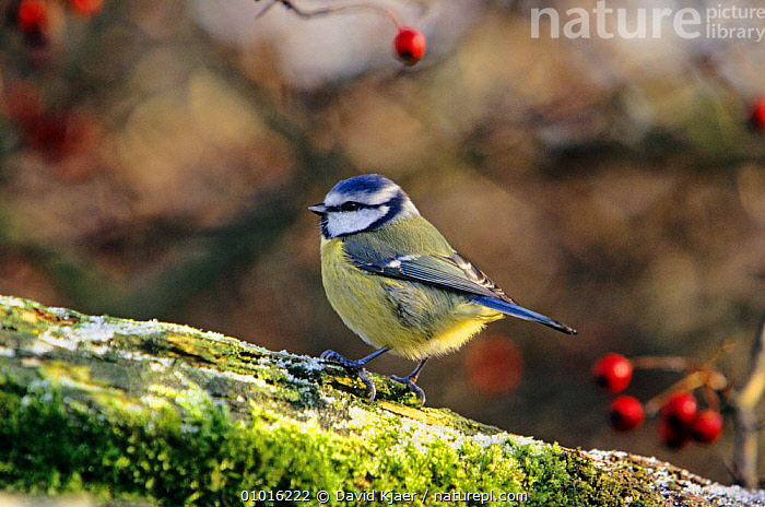 Blue Tit (Parus caeruleus) England, UK  ,  BIRDS,BLUE,ENGLAND,EUROPE,FRUIT,GARDENS,PORTRAITS,TITS,UK,VERTEBRATES,WINTER,United Kingdom,Plants,British  ,  David Kjaer
