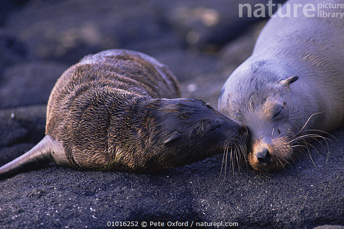 Galapagos Sealion with pup (Zalophus californianus) Galapagos Islands, Ecuador.  ,  AFFECTIONATE,BABIES,CARNIVORES,COASTS,CUTE,FAMILIES,FEMALES,GALAPAGOS,MAMMALS,MARINE,PARENTAL,PINNIPEDS,SEALIONS,SEALS,SLEEPING,SOUTH AMERICA,VERTEBRATES,concepts,SOUTH-AMERICA  ,  Pete Oxford