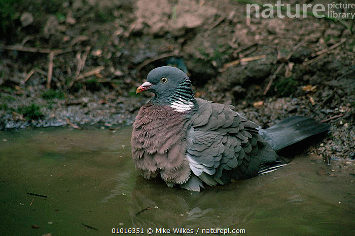 Wood pigeon {Columba palumbus} bathing, Worcestershire, UK.  ,  BATHING,BEHAVIOUR,BIRDS,COLUMBIFORMES,DOVES,ENGLAND,VERTEBRATES,Europe,Pigeons , woodpigeon  ,  Mike Wilkes