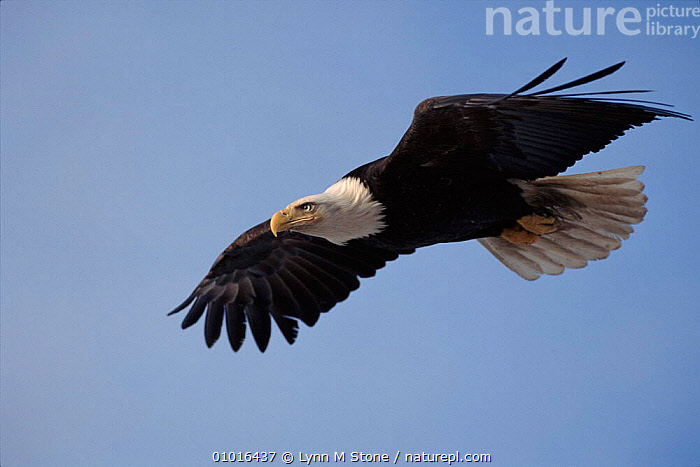 Bald eagle soaring in flight. Alaska, Kenai Peninsula.  ,  USA,BIRDS,LS,,SKY,FLYING,HORIZONTAL,ALASKA,KENAI ,BIRDS OF PREY,NORTH AMERICA,EAGLES,RAPTOR  ,  Lynn M Stone