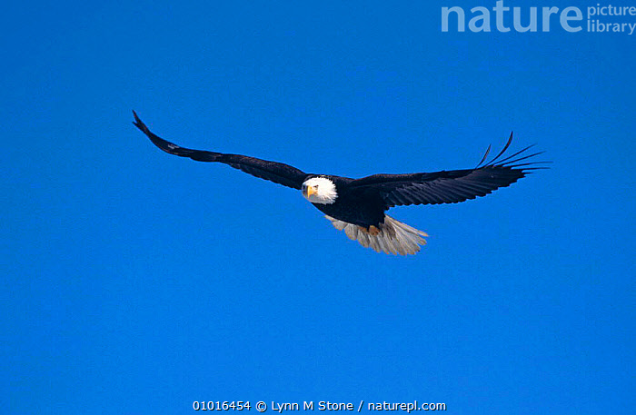 Bald eagle (Haliaeetus leucocephalus) soaring, Kenai Peninsula, Alaska.  ,  BIRDS,BIRDS OF PREY,EAGLES,FLYING,SKY,USA,VERTEBRATES,North America,Raptor  ,  Lynn M Stone