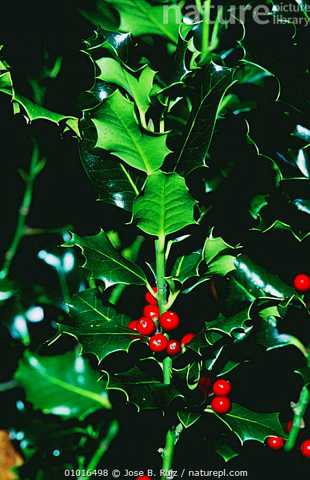 Holly berries (Ilex aquifolium) Covadonga NP, Spain  ,  AQUIFOLIACEAE,DICOTYLEDONS,EVERGREEN,FRUIT,NP,PLANTS,RIPE,SPAIN,TREES,VERTICAL,WINTER,Europe,National Park  ,  Jose B. Ruiz
