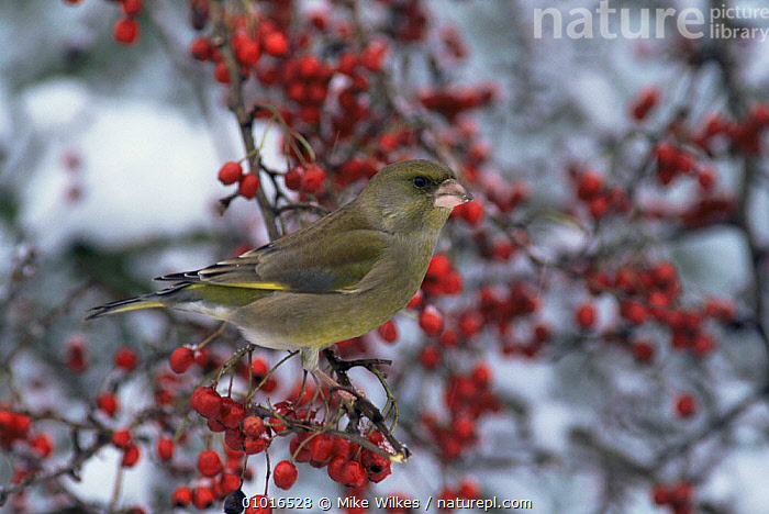 Greenfinch (Carduelis chloris) and Hawthorn berries winter, UK  ,  BIRDS,ENGLAND,FINCHES,FRUIT,PLANTS,SNOW,UK,VERTEBRATES,WINTER,Europe,United Kingdom,British  ,  Mike Wilkes