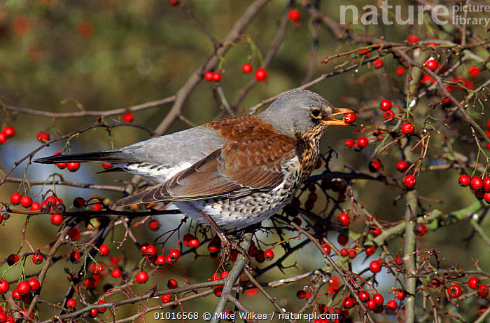 Fieldfare eating hawthorn berry, autumn, England  ,  FRUIT,UK,HORIZONTAL,BIRDS,MW,EUROPE,PASSERINES,AUTUMN,FEEDING,HAWTHORN,TREES,ENGLAND,UNITED KINGDOM,PLANTS,BRITISH  ,  Mike Wilkes