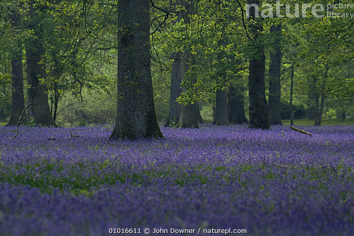 Bluebells (Hyacinthoides non-scripta) in mixed woodland. Forest of Dean, England  ,  ENGLAND, EUROPE, FLOWERS, LILIACEAE, MIXED-WOOD, MONOCOTYLEDONS, PLANTS, SPRING, TREES, UK,United Kingdom  ,  John Downer