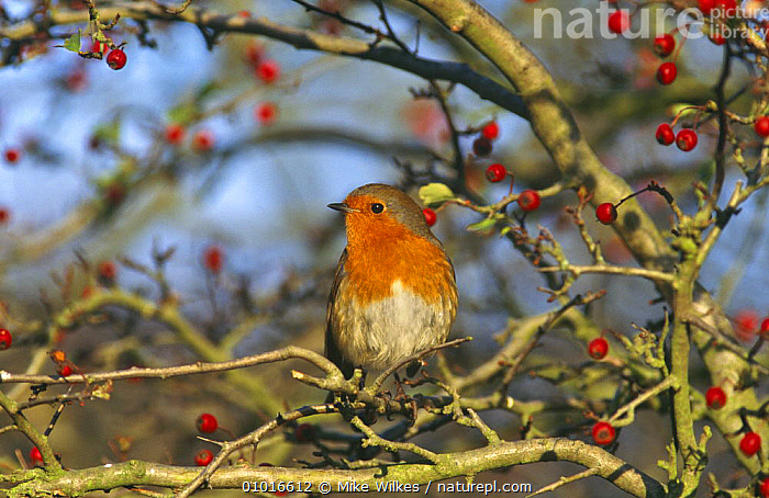Robin perched in hawthorn bush (Erithacus rubecula) UK  ,  AUTUMN,BERRIES,BIRDS,BRITISH,ENGLAND,EUROPE,FLYCATCHERS,GARDENS,PORTRAITS,UK,VERTEBRATES,United Kingdom  ,  Mike Wilkes