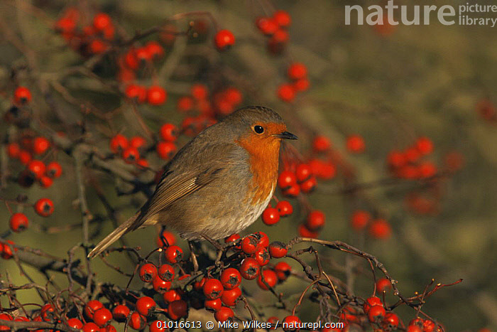 Robin (Erithacus rubecula) perched in hawthorn bush with red berries, England  ,  BERRY,BIRDS,CHRISTMAS,ENGLAND,EUROPE,FLYCATCHERS,FRUIT,GARDENS,PORTRAITS,RED,UK,VERTEBRATES,WINTER,United Kingdom,Plants,British  ,  Mike Wilkes