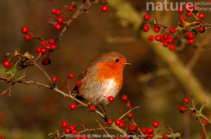 Robin perched in hawthorn bush, England  ,  UK,GARDENS,PASSERINES,HAWTHORN,FRUIT,RED,EUROPE,HORIZONTAL,PORTRAITS,ENGLAND,BERRIES,WINTER,BIRDS,MW,TREE,UNITED KINGDOM,PLANTS,BRITISH  ,  Mike Wilkes