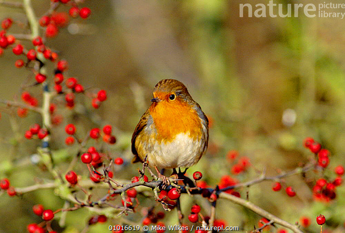 Robin (Erithacus rubecula) perched in hawthorn bush with berries, England  ,  BIRD,BIRDS,BRITISH,ENGLAND,EUROPE,MW,ONE,PORTRAITS,RED,WILDLIFE,WINTER  ,  Mike Wilkes