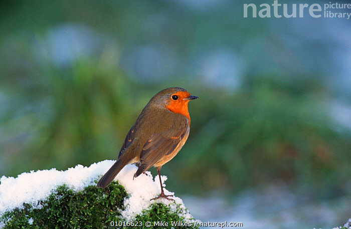 Robin on perch in snow. (Erithacus rubecula) England  ,  BIRDS,GARDENS,PORTRAITS,RED,SNOW,WINTER  ,  Mike Wilkes