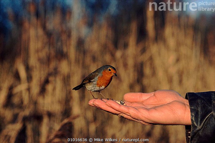 Robin feeding on person's hand, England  ,  HAND,PASSERINES,PEOPLE,PERSON,BIRDS,HORIZONTAL,MW,ENGLAND,EUROPE,GARDENS,UK,FEEDING,TRUST,UNITED KINGDOM,BRITISH  ,  Mike Wilkes
