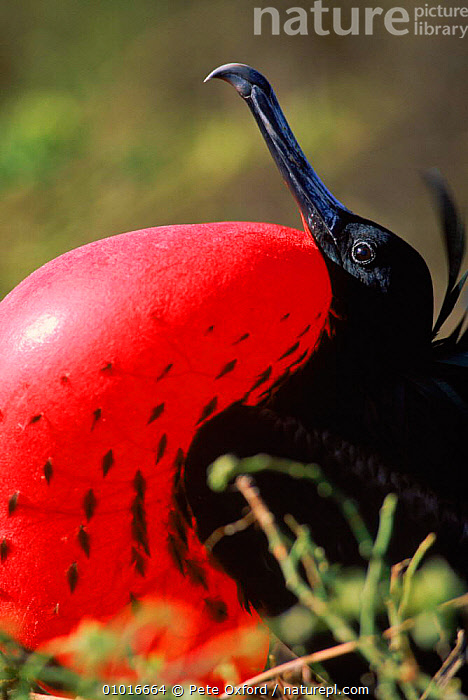 Great frigate bird (Fregeta minor) male with pouch fully inflated. Orgenoves Island, Galapagos  ,  SEABIRDS,VERTICAL,BIRDS,INTERESTING,MATING BEHAVIOUR,INFLATED,COURTSHIP,RED,COASTS,ISLAND,MALES,,DISPLAY,POUCH,GALAPAGOS ,OCEANIA,REPRODUCTION,COMMUNICATION  ,  Pete Oxford