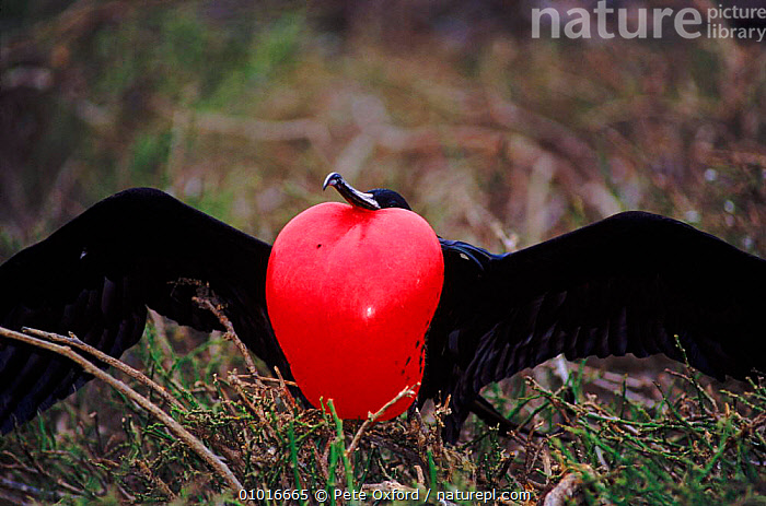 Great Frigate bird male courtship display, Galapagos  ,  GALAPAGOS*,DISPLAY,MATING BEHAVIOUR,BIRDS,COURTSHIP,PO,MALES,RED,DRAMATIC,HORIZONTAL,SEABIRDS,WINGS,REPRODUCTION,COMMUNICATION  ,  Pete Oxford