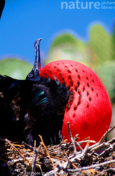 Great Frigate bird male courtship display, Galapagos  ,  PO,MALES,COASTS,MATING BEHAVIOUR,RED,VERTICAL,BIRDS,BIRD,GALAPAGOS*,DISPLAY,SEABIRDS,DRAMATIC,REPRODUCTION,COMMUNICATION  ,  Pete Oxford
