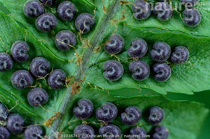 Male Fern - sori on underside of frond (Dryopteris filix mas) Scotland  ,  CLOSE UPS,EUROPE,PLANTS,FERNS,PTERIDOPHYTA,SEEDS,UK,PATTERNS,United Kingdom,British  ,  Duncan Mcewan