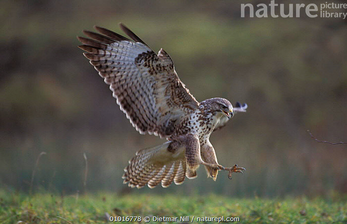 Common Buzzard in flight about to land (Buteo buteo) Germany  ,  BIRDS,BIRDS OF PREY,BUZZARDS,FLYING,LANDING,PREDATION,BEHAVIOUR,HAWKS  ,  Dietmar Nill